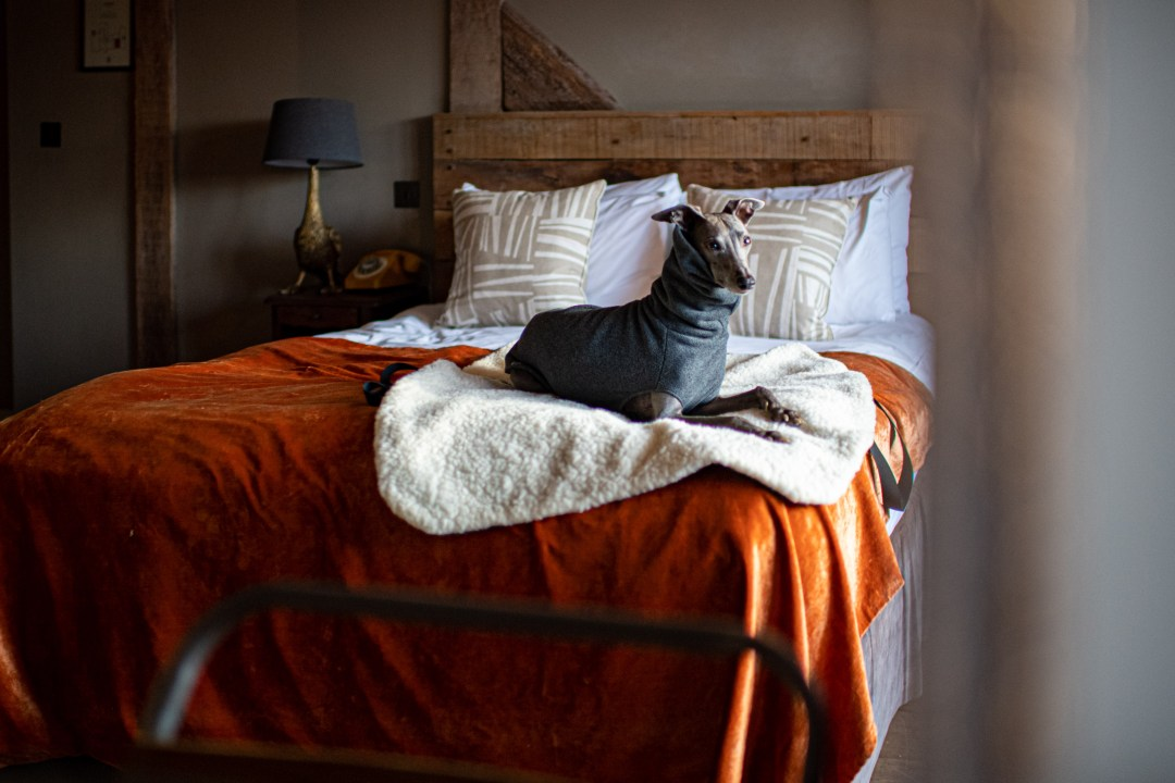 Whippet on a bed with an orange velvet throw