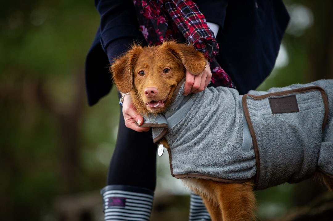 Nova Scotia Duck Toller having a dog drying coat put on in the woods