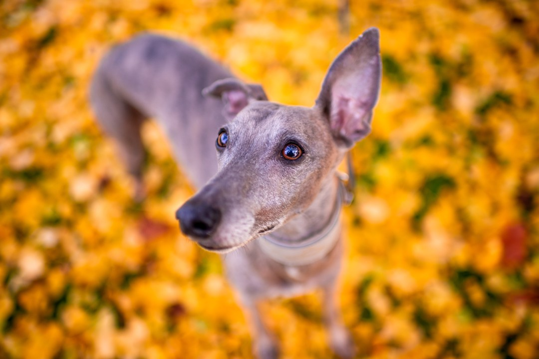 photograph looking down on a whippet with yellow leaves blurred on the floor