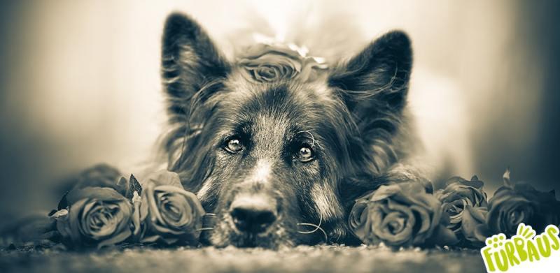 banner corso cani attori e testimonial