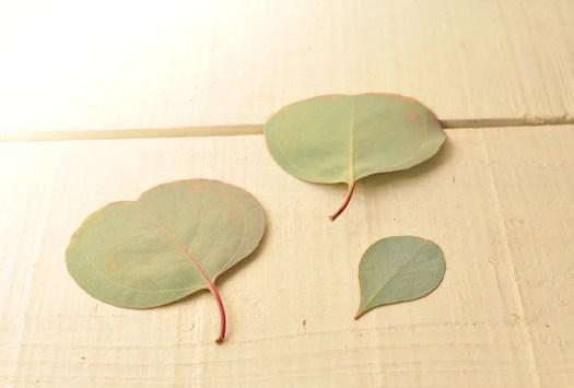 ユーカリの葉はペタンコで薄っすらハート型-ふるものせいかつ図鑑