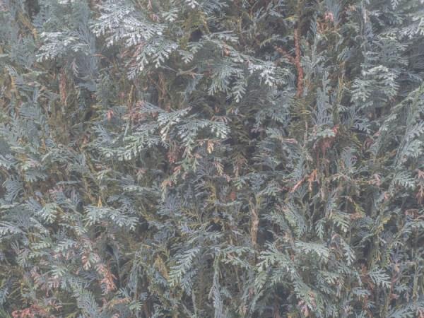 fir tree texture wallpaper mural design