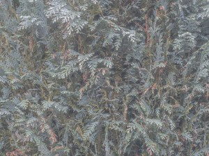 fir tree texture wallpaper mural design