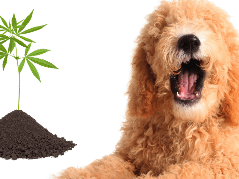 CBD Hemp Genetics and Goldendoodles