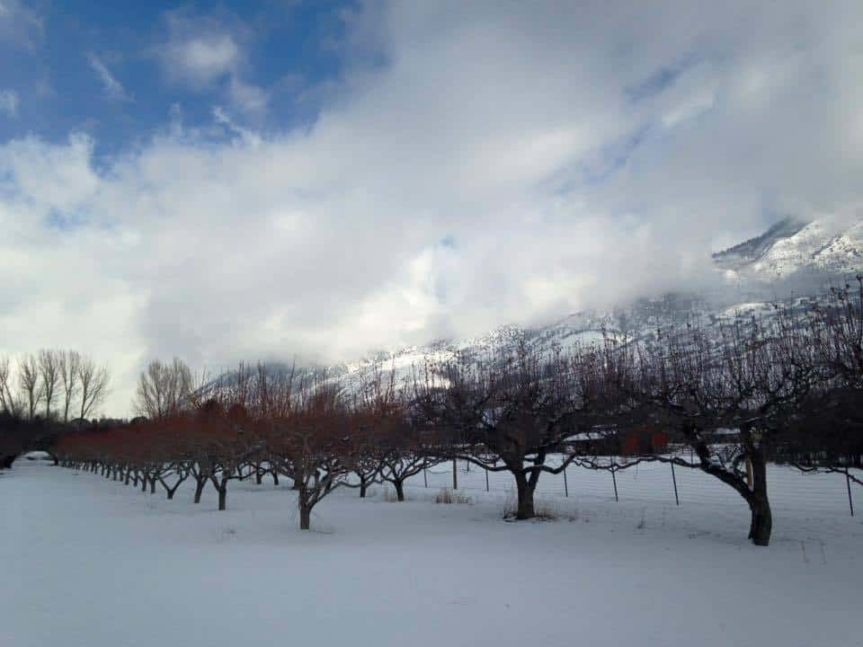 Orchard in Winter