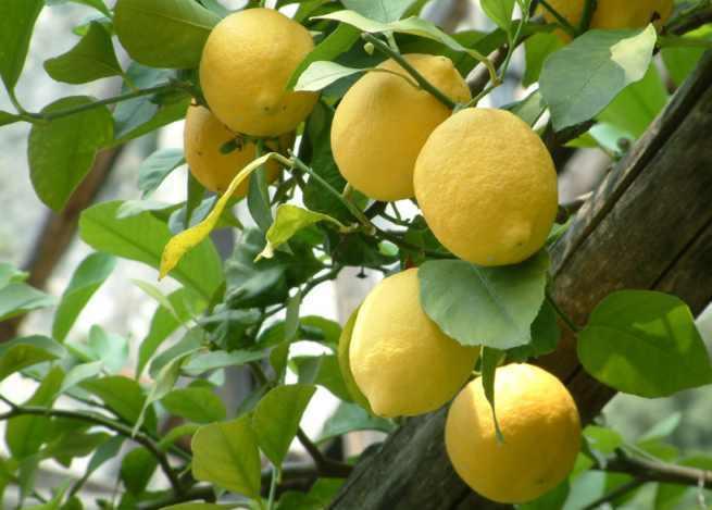 limoni sicilia