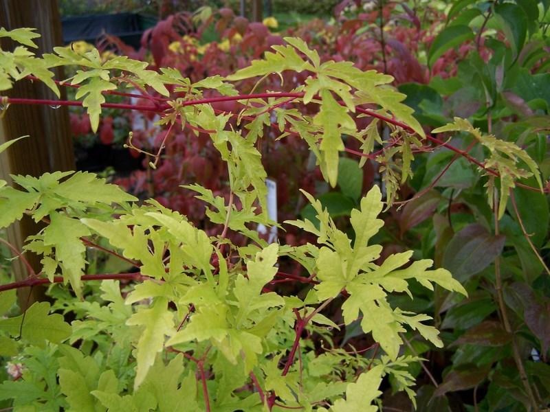 Branchlets terete, with longitudinal ridges; Winnik tojadowaty Ampelopsis aconitifolia /C5   Future Gardens