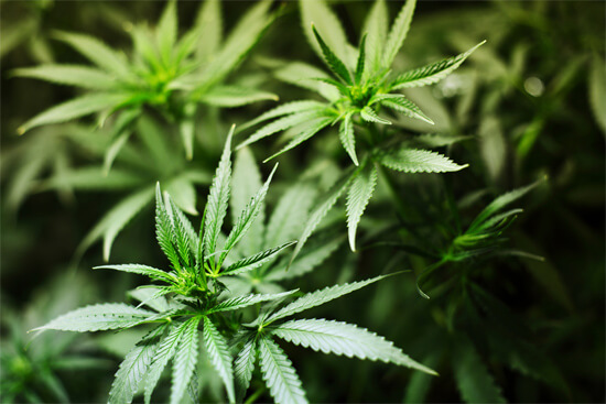 uruguay cannabis 2013