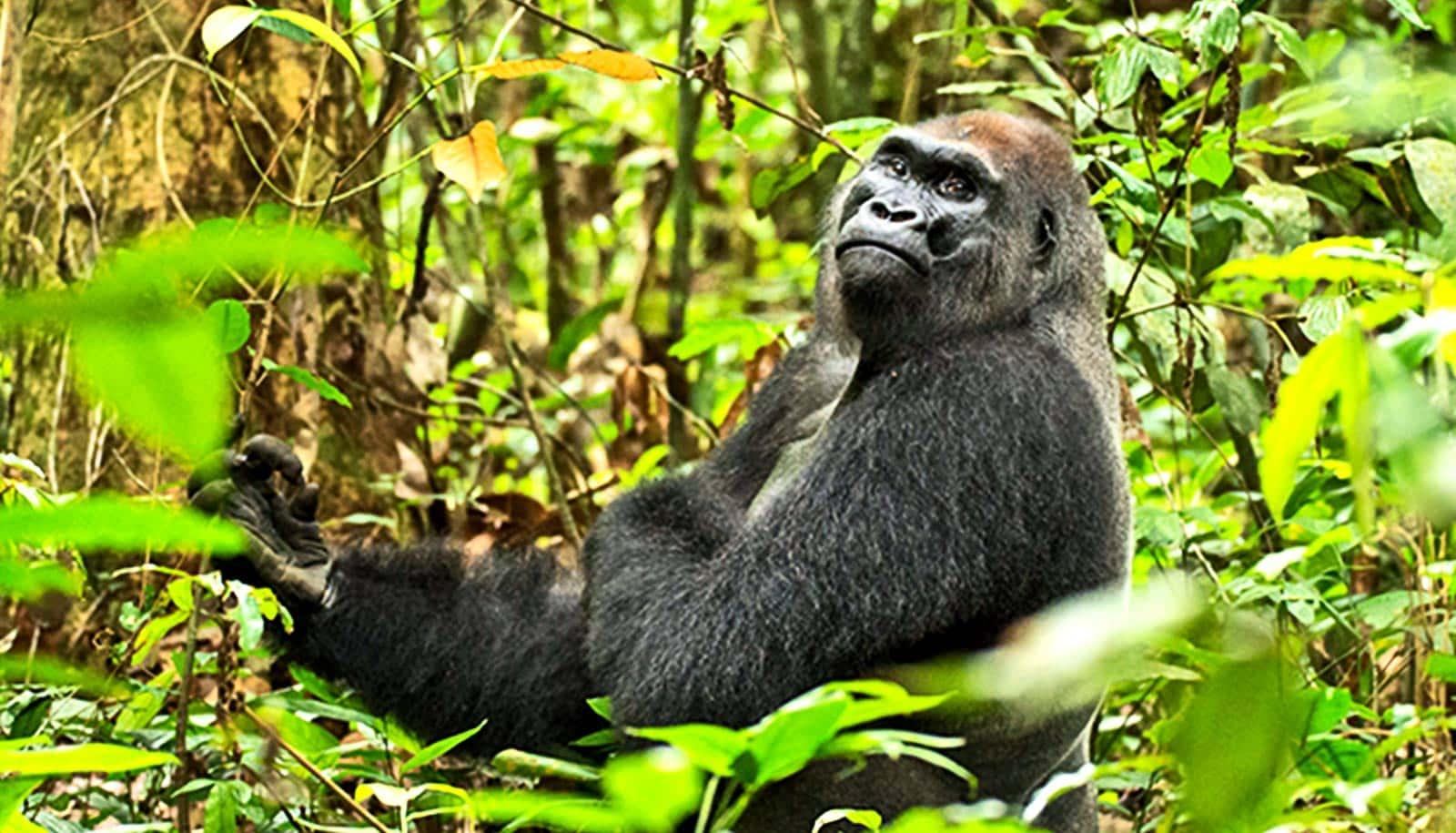 Gorillas Have Surprisingly Active Social Lives Futurity
