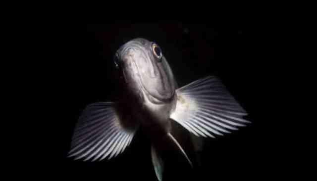 frontaal zicht op grijze vissen in donker water