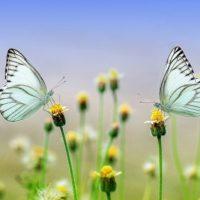 二匹の蝶々
