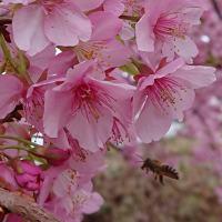 河津桜と蜂