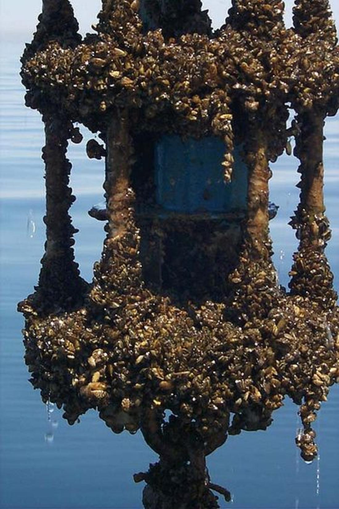 Zebra Mussels Suspected In Lake Worth And Joe Pool