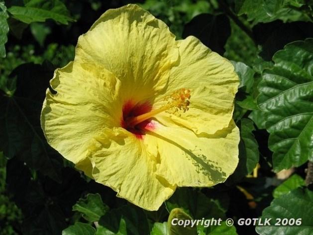 Yellow hisbiscus
