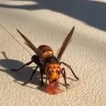 """VIDEO Primul cuib de """"viespi ucigaşe"""" din Statele Unite a fost descoperit şi distrus, după un an de căutări intense"""