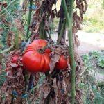 Tocana de vinete cu ardei copti intregi – Mangi