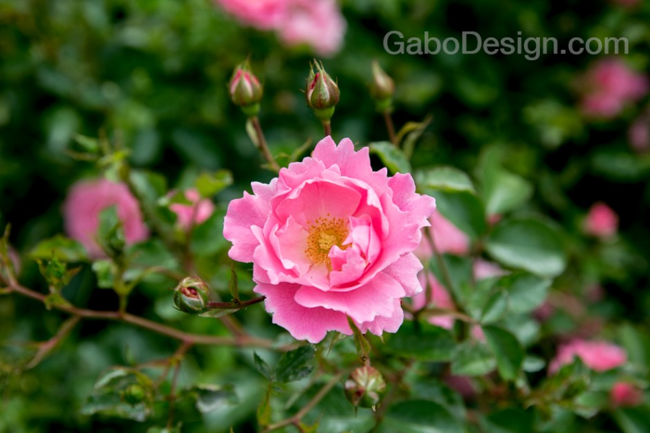 Rose_2017.jpg