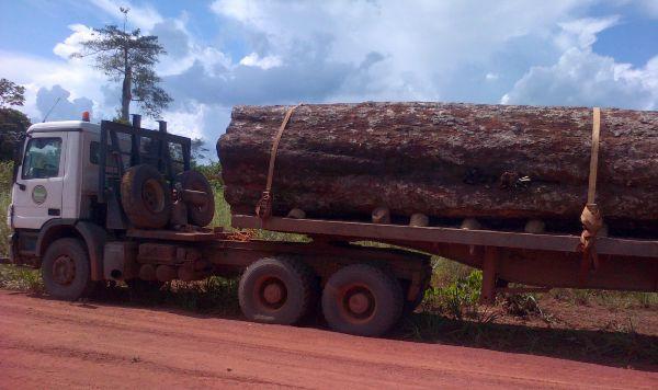 Les premiers exploitants forestiers européens, français en particulier ont décimé cette espèce. Les chinois, nouveaux venus achèvent le boulot malgré la législation locale @ DR