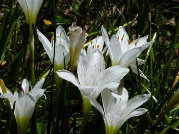 Atamasco-lily, Zephyranthes atamasca, Photo by Richard and Teresa Ware