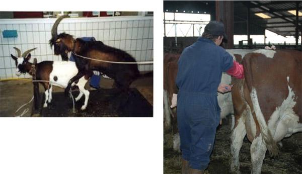 Links: Eine Ziege wird vergewaltigt.