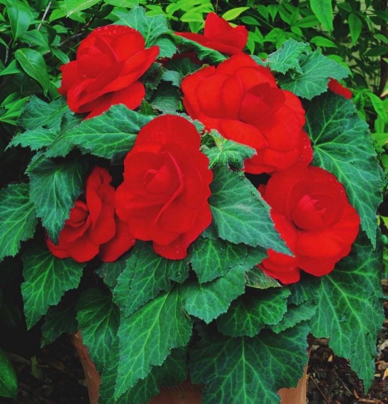 Double Begonia 1