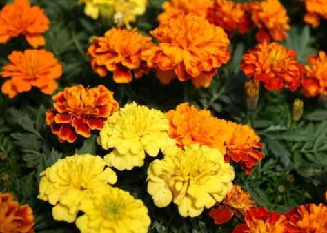 marigold_3