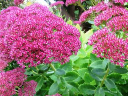 Sedum Autumn Joy 1