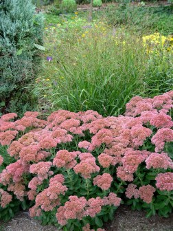 Sedum Autumn Joy 3