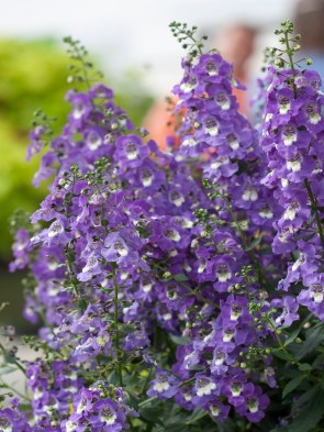 Angelonia Spreading 3