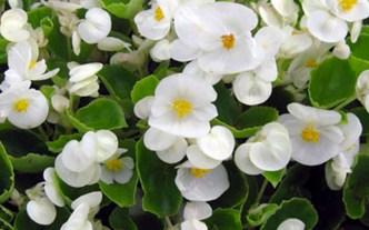 Begonia 2