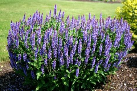 Blue Salvia 2