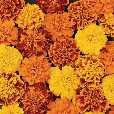 Marigolds 2