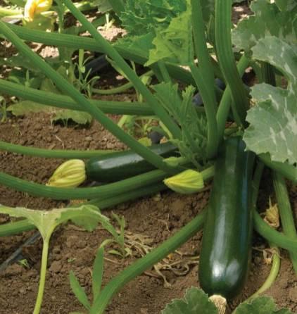 Zucchini 3