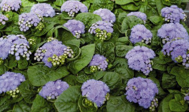 Flats - 48 Plants