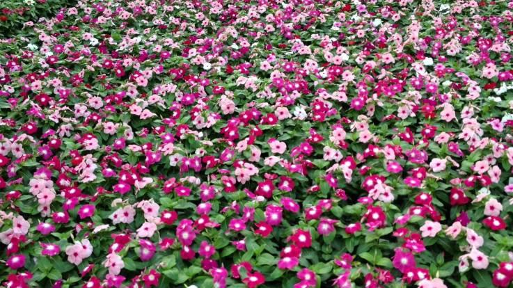 Flowering Vinca 2