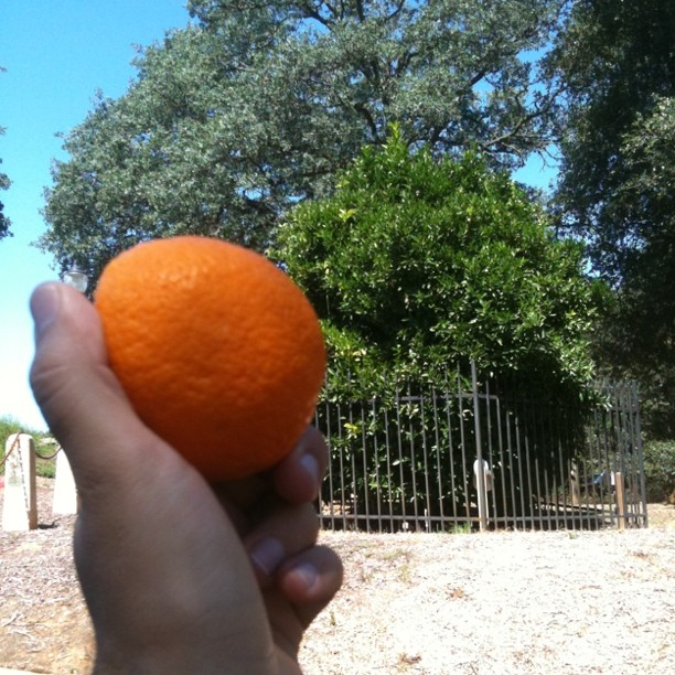 Orange from the Mother Orang Tree - oldest orange tree in California
