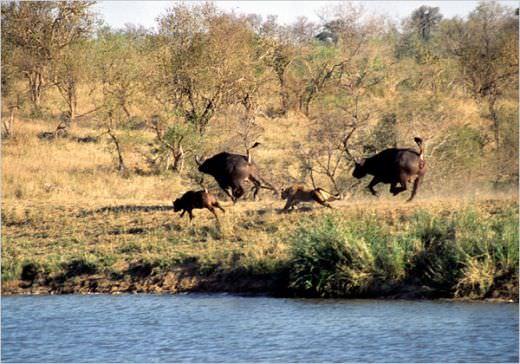 Cel mai tare video din safari