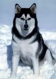 Malamut de Alaska 6