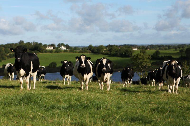 Vaci irlandeze grass fed