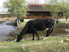 Vacile pasc in liniste pe marginea drumului