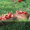 米アップル社製だけに「リンゴにこだわりました」…「アイフォーン」ケースはリンゴの木、ぬくもりのある触感が青森で人気