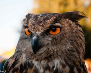 Stunning eyes on an eagle owl at the Royal Falconer's Show at the Arizona Renaissance Festival