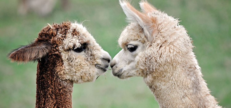 2 alpacas touching noses