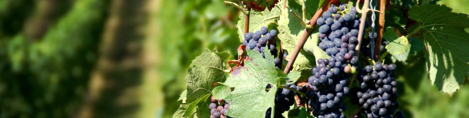 Purple wine grapes on the vine in vineyard