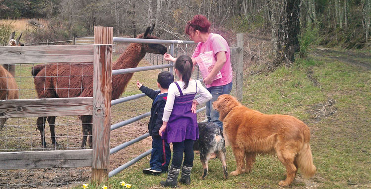 Feeding the alpacas at Horse Creek B&B in blue ridge, ga