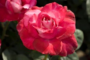 Girls' Night Out Hybrid Tea Rose