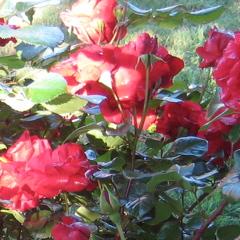 Cherry Parfait Grandiflora Rose, Gagasgarden