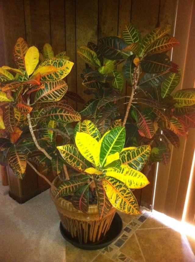 Croton Called Audrey Gaga's Garden