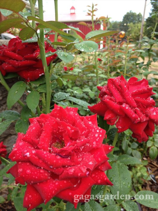 Labor Day Rose Garden Dazzling After The Rain
