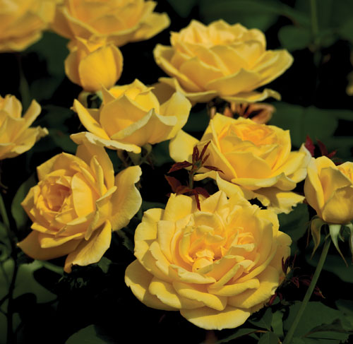 Ch-Ching, Grandiflora photo Weeks Roses